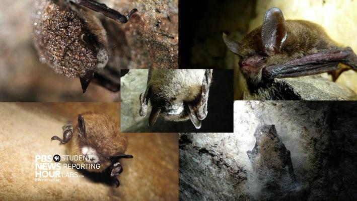 Tracking White-Nose Syndrome in Bats
