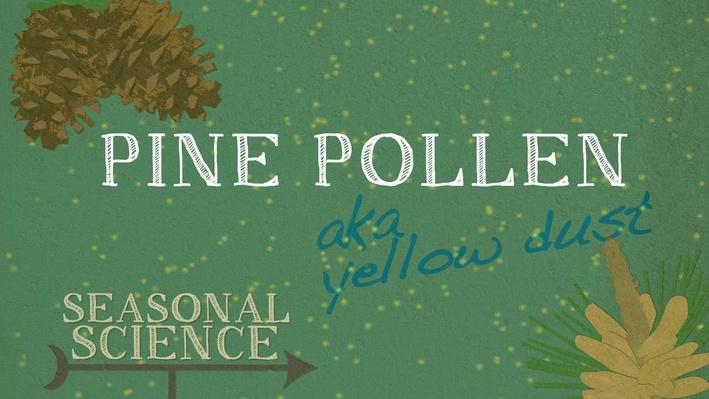 Seasonal Science: Pine Pollen