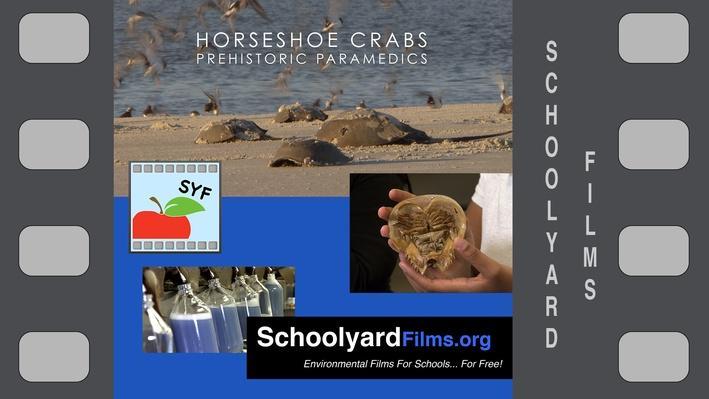 Horseshoe Crabs: Prehistoric Paramedics