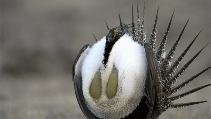 Greater Sage-Grouse: Courtship Rituals