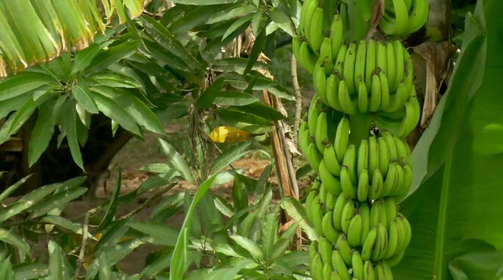 Deadly Fungus Threatens Bananas – Video