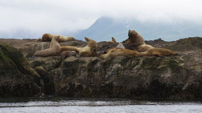 Investigating Steller Sea Lion Populations | NOAA Fisheries