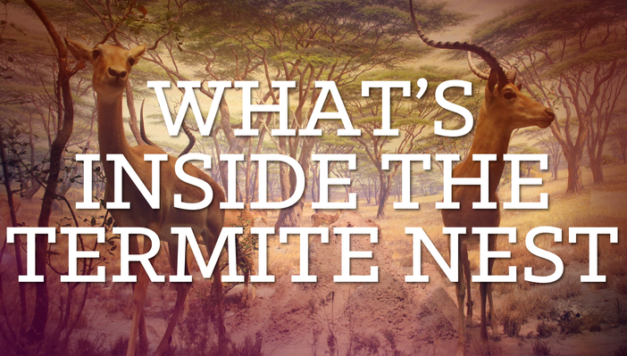 What's Inside the Termite Nest