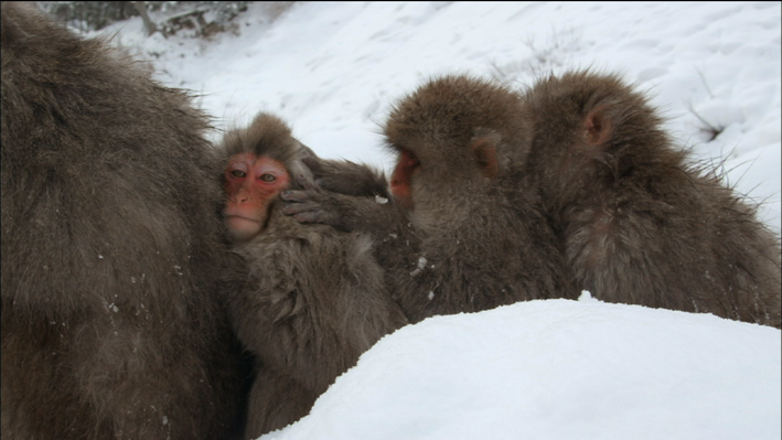 Snow Monkeys: Grooming