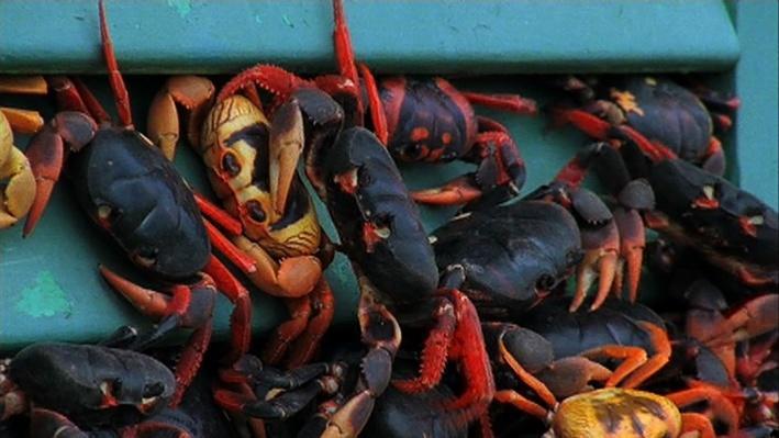 The Cuban Crab Migration