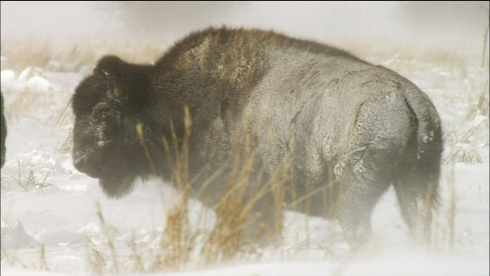 The Winter World of Wolves and Buffalo