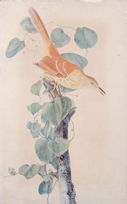 A watercolor, ink and graphite drawing of a brown thrasher from 1815 by artist John James Audubon.