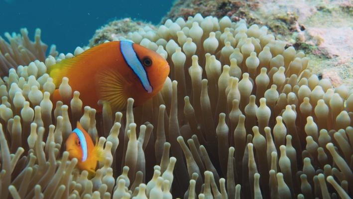 Clownfish and Anemone | Big Pacific: Passionate