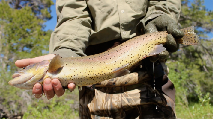 Raising and Releasing Trout | This American Land
