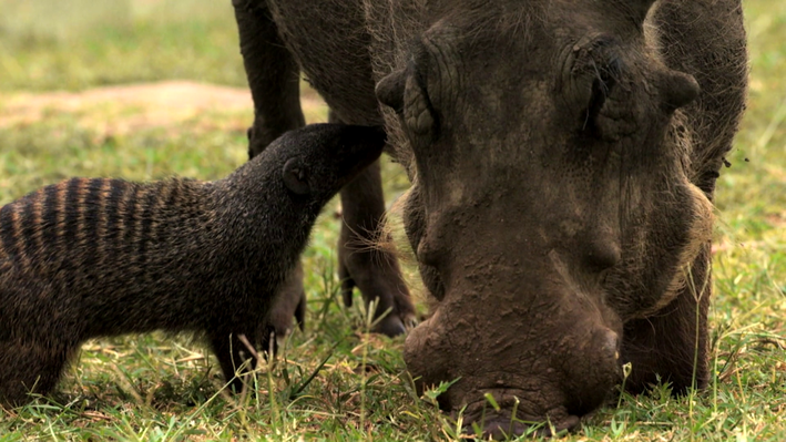 Unlikely Partners: Warthog and Mongoose