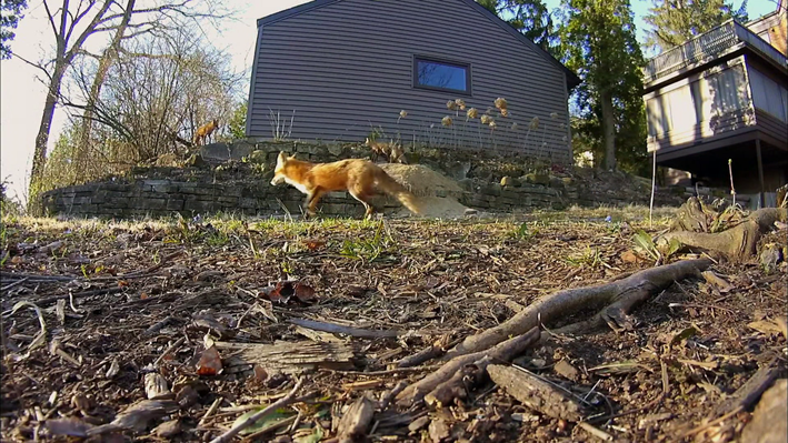 Urban Foxes: Exploring New Ecosystems