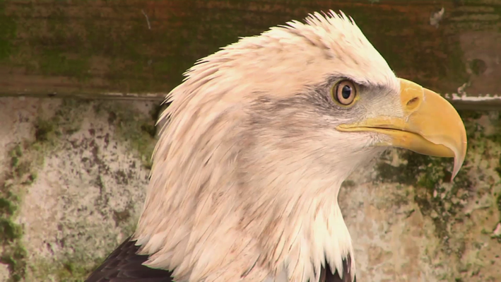Bald Eagle Recovery Efforts in New Jersey