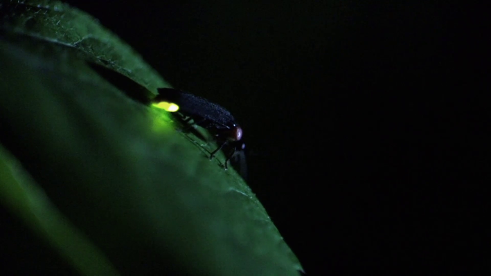 The Effects of Light Pollution on Firefly Communication