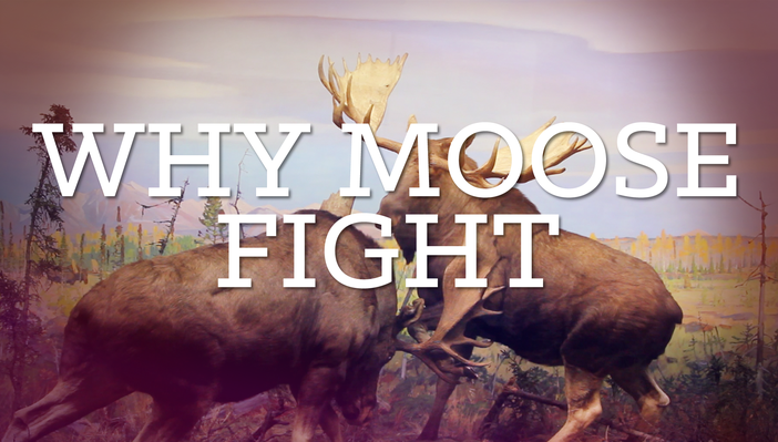 Why Moose Fight