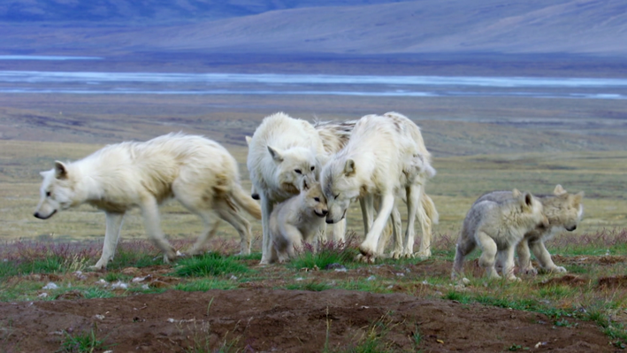 Artic Wolf Cubs Learn Pack Behavior