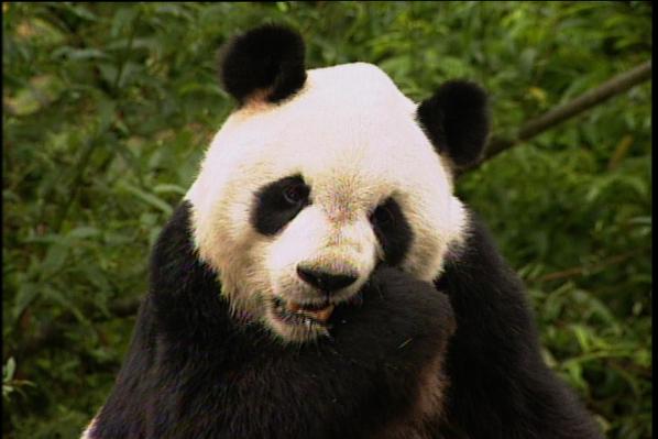 Wolong's Pandas