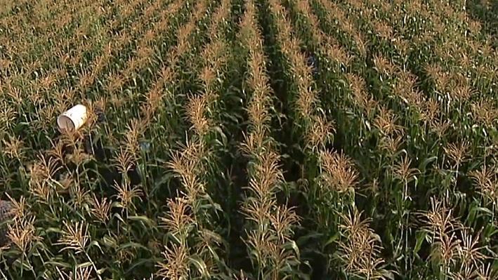Summer Sweet Corn | America's Heartland
