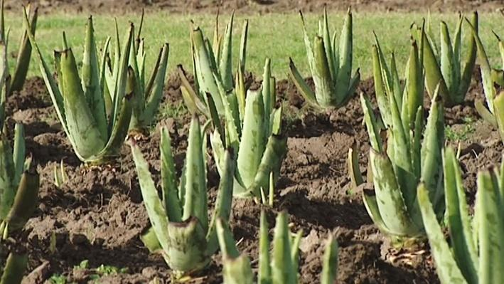 Aloe Vera Farm | America's Heartland