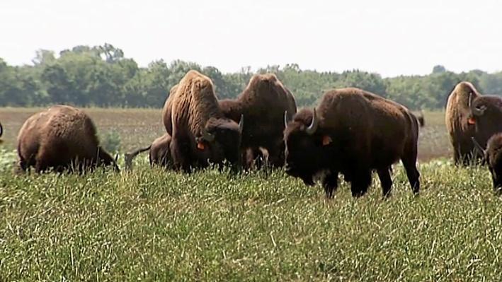Bringing Back the Bison | America's Heartland