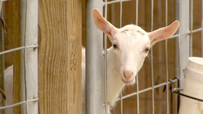 Life on a Goat Farm | America's Heartland