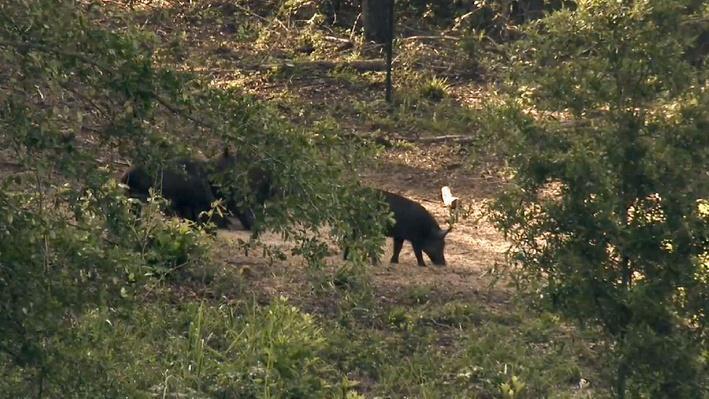Invasive Wild Hogs | America's Heartland