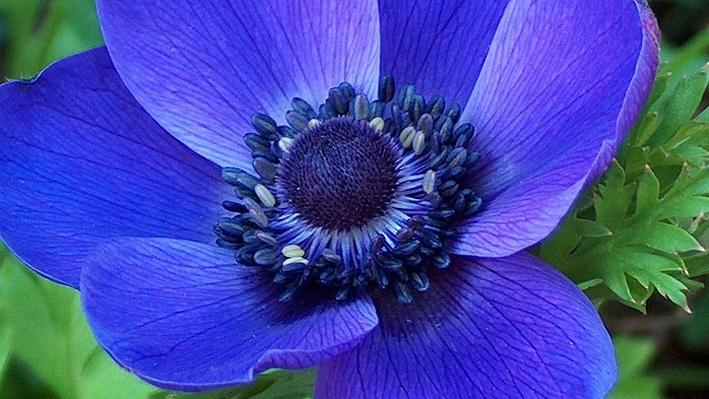 photo of deep blue-ish purple bloom with slightly furry center from above