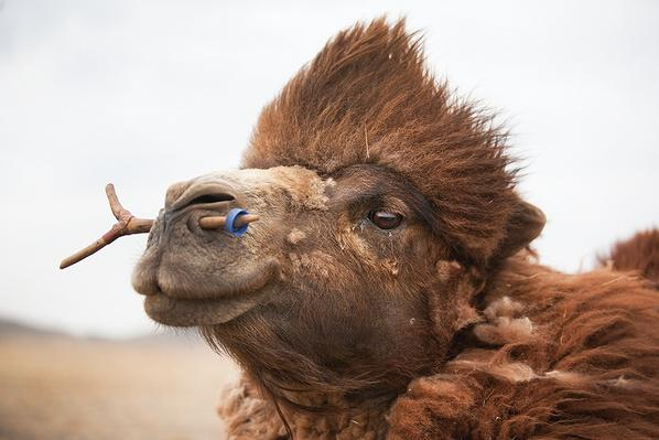 Camels are Highly Valued | Global Oneness Project