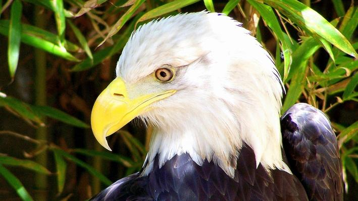 Close-up photograph of bald eagle