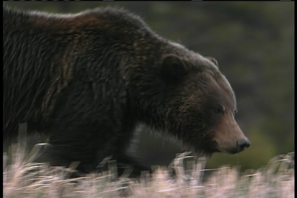 Nature | The Good, the Bad, and the Grizzly: Bear Necessities