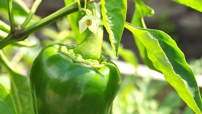 green bell pepper hanging from a plant with a white bloom just above