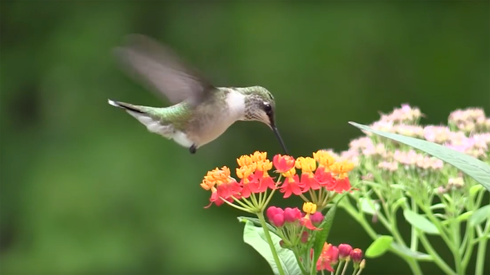 Lens of Time: How Hummingbirds Hover