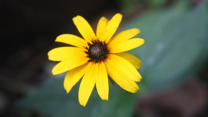 Close up of black-eyed susan, a flower with yellow petals and a brown center
