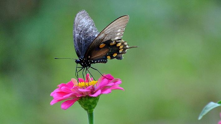 Black swallowtail butterfly on a pink flower