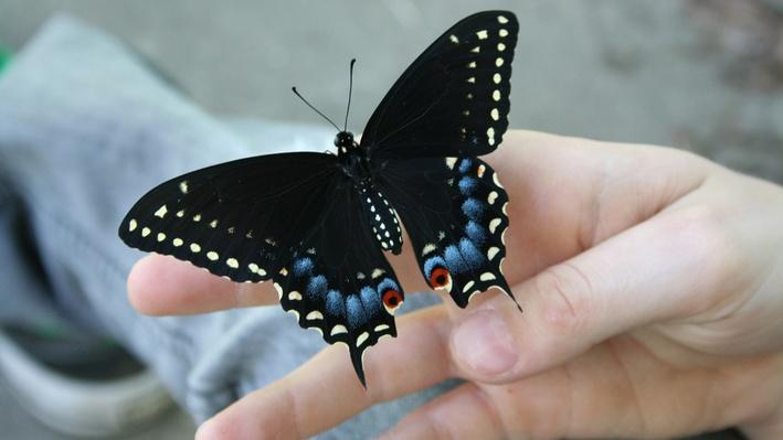 Black swallowtail butterfly on a hand
