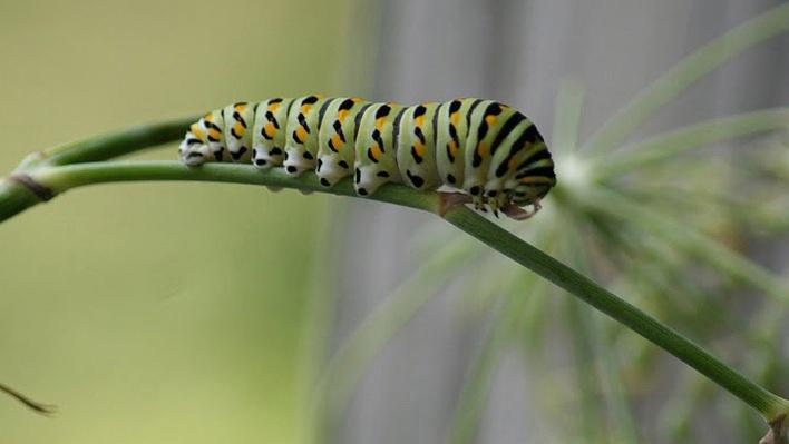 Black swallowtail butterfly larvae