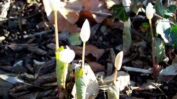 Many small white bloodroot buds