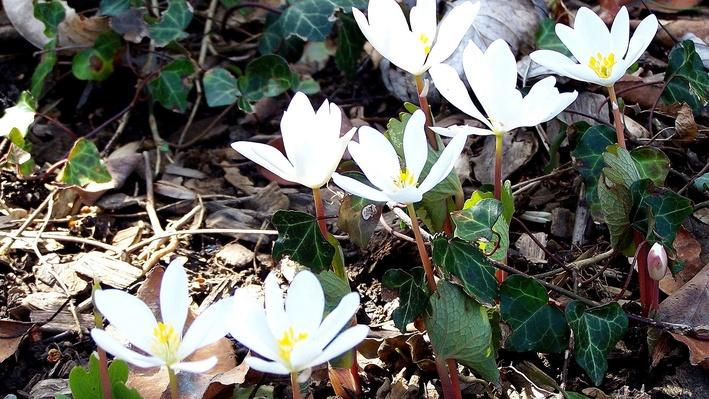 Just opened bloodroot flowers, white with yellow centers