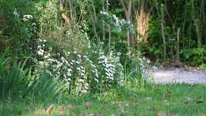 A fountain-like cluster of long stems with white blooms