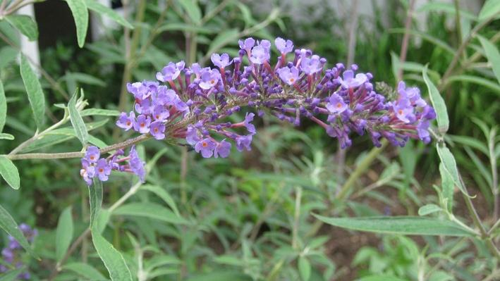 Tight shot of cluster of purple cone-shaped flowers