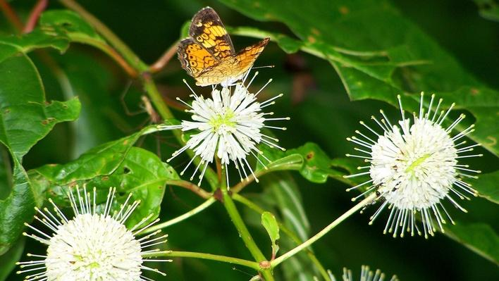 White orb-like clusters of flowers with a butterfly perched on top