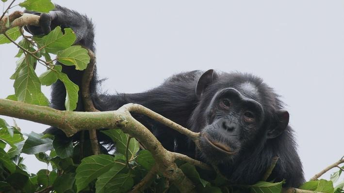 Nature Nuggets: Naptime for Chimpanzee