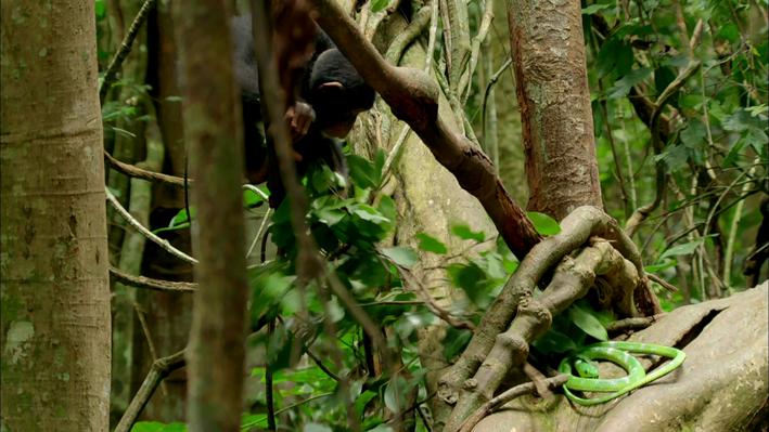Information Processing: A Chimpanzee Identifies Threats