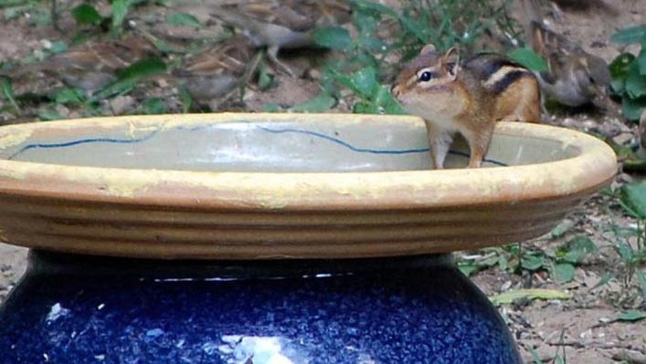 chipmunk in birdbath