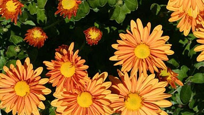 A group of yellow-orange daisy-like chrysanthemum flowers from above