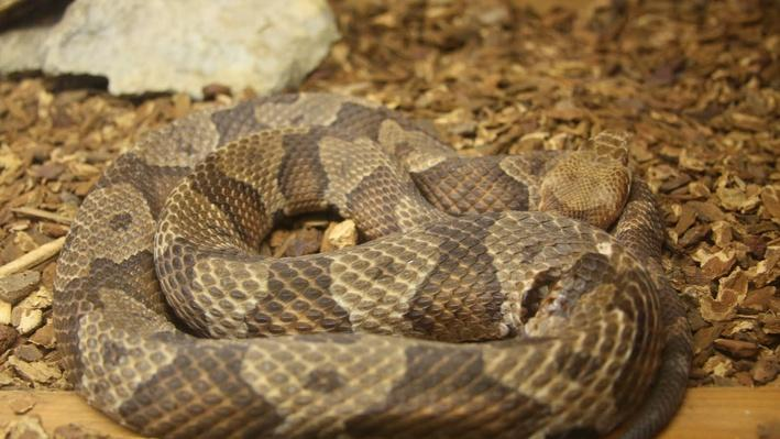 Coiled copperhead snake