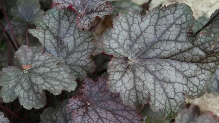 Close up of purple-green coral bell foliage