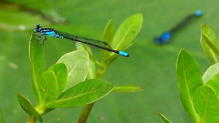 Blue damselfly on plant