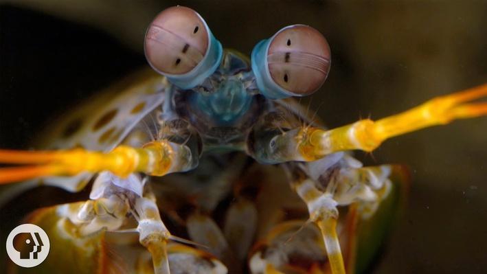 The Snail-Smashing Mantis Shrimp | Deep Look