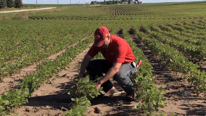 Diagnosing Disease in Soybean Plants | Grainly Farms