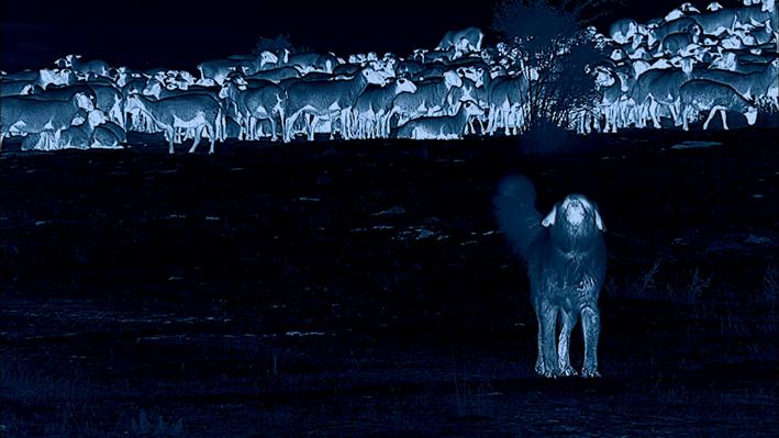 Infrared Image of a Guard Dog and Sheep